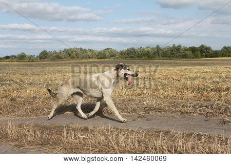 Dog running on the field Dog running on the field