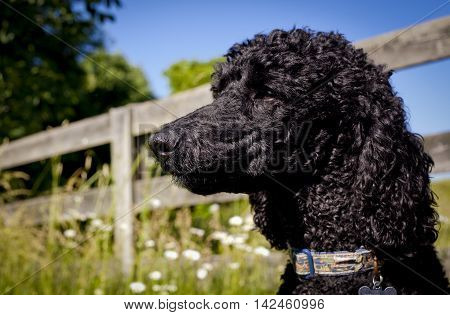 Stoic looking black standard poodle looking left with picturesque countryside behind