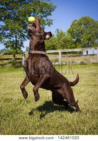 Energetic chocolate Lab reaching up on hind legs for tennis ball in green field