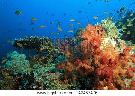 Colorful Coral Reef against Blue Water. Dampier Strait Raja Ampat Indonesia