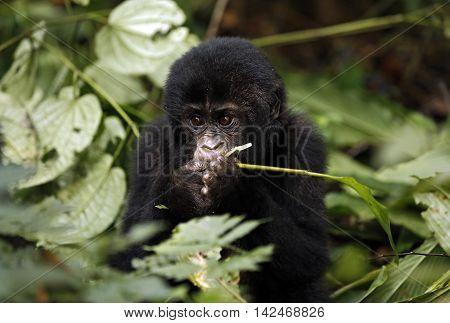 Baby Gorilla (Gorilla beringei beringei) Feeding. Bwindi Impenetrable National Park Uganda