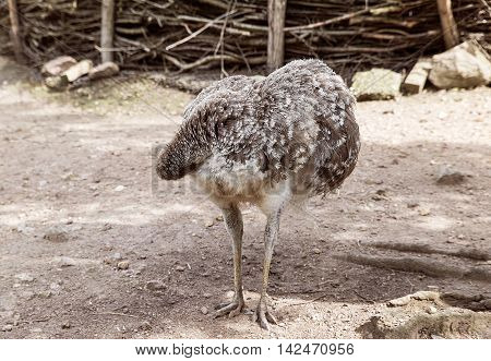 Ostrich bird with magnificent plumage gray, hid his head under his wing