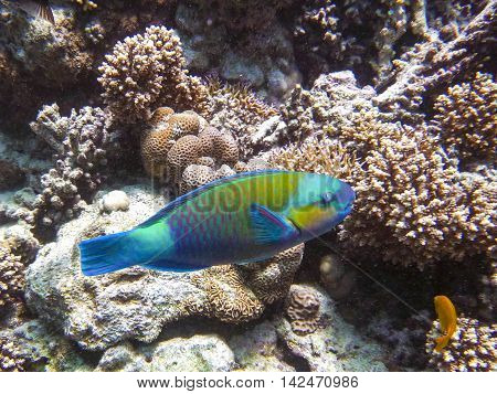 Parrot-fish looking for food in the corals