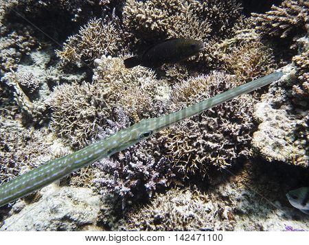 Trumpet fish not surprised by diver in tropical sea
