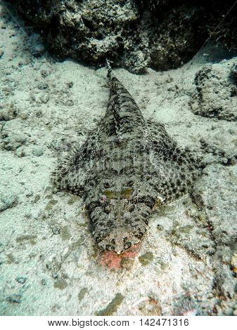 Crocodile fish in Red Sea hunting for food.