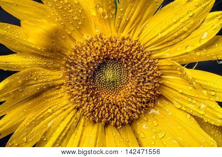 Extreme close up of a bright yellow sunflower with water drops on it.