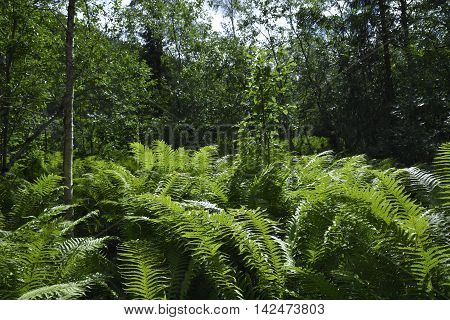Lot of big Ferns (plantae embryophyta) in a forest in the North of Norway.