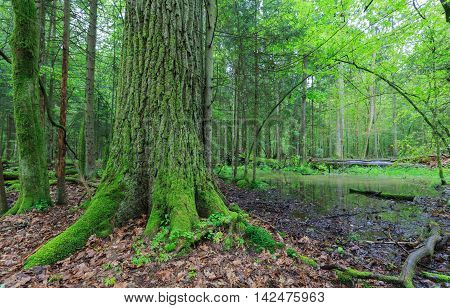 Summertime broadleavedstand with small pond under shady canopy of stand and old oak tree in foreground, Bialowieza Forest, Poland, Europe