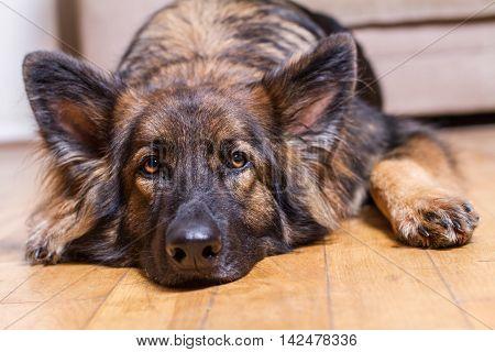 German Shepherd Dog Resting His Head On A Wooden Floor