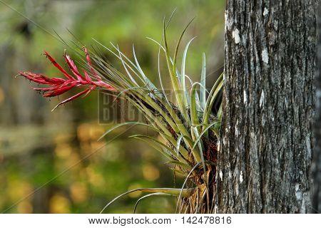 Bromeliad plant growing on bald cypress tree