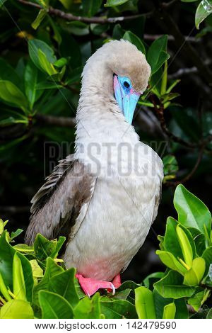 Red-footed Booby (sula Sula) Preening Feathers