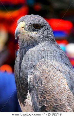 Black-chested Buzzard-eagle At The Market In Maca, Colca Canyon, Peru