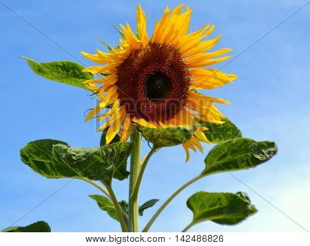 Common Yellow Sunflower, Helianthus: Large flower shown against a blue sky background.
