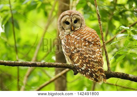 Barred Owl (strix Varia) Sitting On A Tree