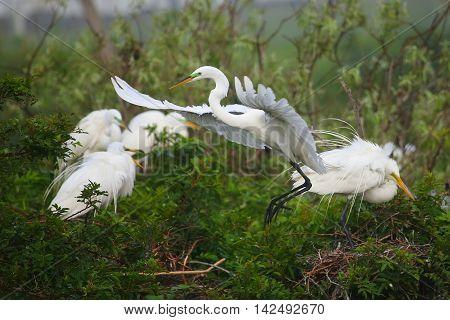 Great Egret (Ardea alba) in flight near trees