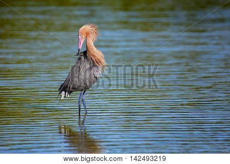 Reddish egret (Egretta rufescens) preening in water