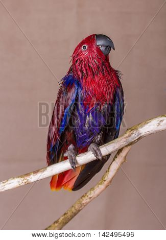 Vertical shot of a wet female Eclectus parrot on a natural wooden branch. Eclectus parrots are from Australia and the females are red and purple.
