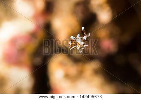 Tiny Juvenile Harlequin Sweetlips