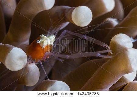 Mushroom Coral Shrimp (periclimenes Kororensis)