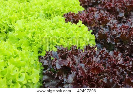 Oakleaf lettuce corrugated lettuce on entire background