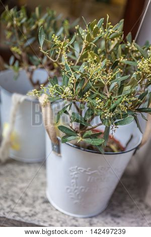 Small olive trees in white pots as decoration