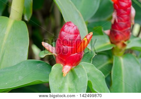 Indian Head Ginger flowersCostus Speciosus blloming on ree