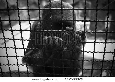 Lonely monkey imprisoned in the zoo. Black and White. (Korat zoo in Thailand)