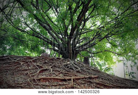 Banyan tree and different way of root.