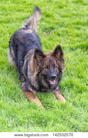Vertical shot of German Shepherd Dog laid on grass doing play bow