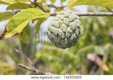 Custard apple plant agriculture on trees .
