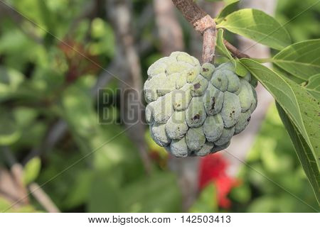 Close up Custard apple raw agriculture on trees.
