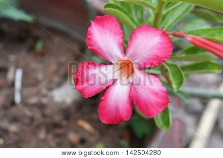 Closed up Desert Rose Tropical flower on a tree or Impala Lily flower. beautiful Pink adenium in the garden.