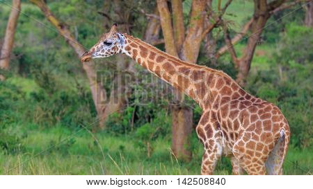 Rothschild Giraffe with long neck and beautiful eyes