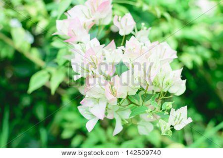Beautiful magenta bougainvillea flowers (Bougainvillea sp) close up.