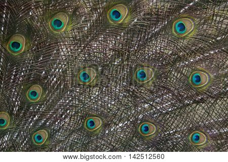 Plumage of the Indian peafowl (Pavo cristatus), also known as the blue peafowl. Wildlife bird.