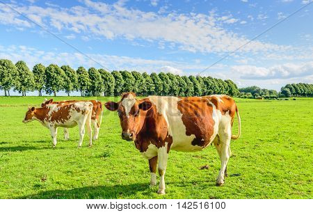 Red and white cows in a green pasture in summertime. The cow in the foreground looks curiously at the photographer. There are lots of flies on its head and body.