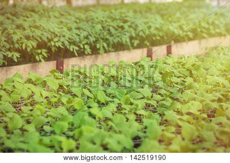 Green Seedlings Grown In A Row In Glasshouse