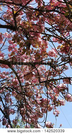 Beautiful cherries in Paris. Rich cherry pink color.