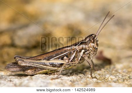 Field grasshopper (Chorthippus brunneus) fully-winged form. Macropterous insect in family Acrididae in profile showing sharply incurved pronotal side-keels