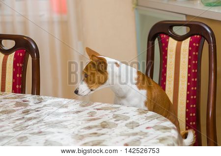 Dissatisfied basenji in angry mood for master is being so long with waiter service