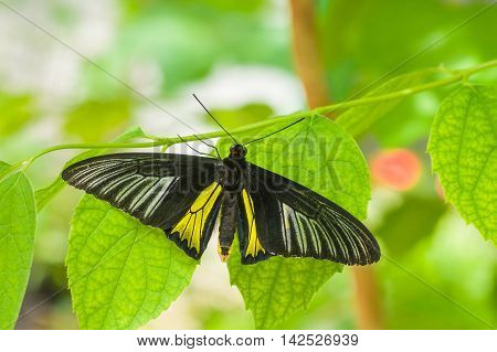 Beautiful Common Birdwing (Troides helena) butterfly in natural habitat.