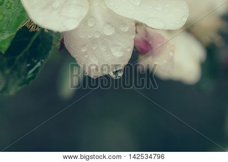 branch of seasonal flowers blossom white color with water drops on petals in spring on blurred background closeup