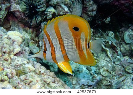 Long Beaked Butterflyfish or Copperband Butterflyfish from Gulf of Thailand, Chumphon, Thailand.