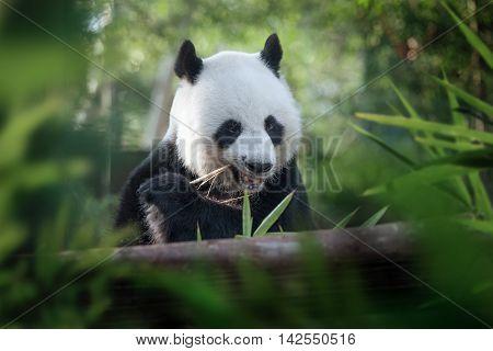 portrait of nice panda bear eating in summer environment