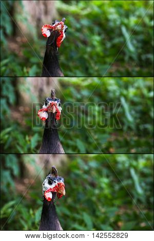 Portrait Collage Of Helmeted Guineafowl Numidia Meleagris Numididae Bird