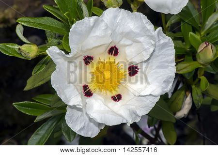 Gum Rockrose, Cistus Ladanifer, Flower, Close Up