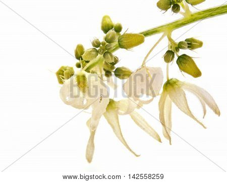 Wild plants Squirting cucumber or exploding cucumber on a white background