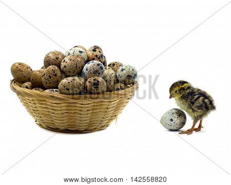 Nestling quails are waiting for siblings. Basket of quail eggs. All are isolated on white