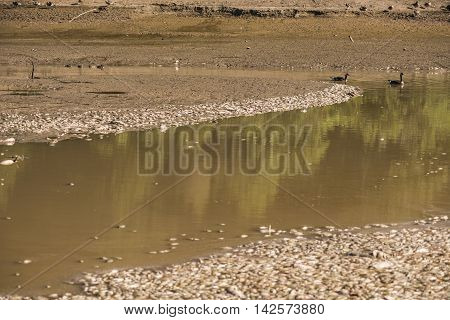 Dead fish in water with swimming geese after lake drainage and dredging at Royal Lake Park in Fairfax, Virginia