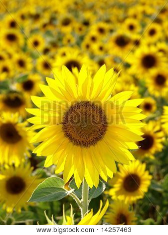 Closeup of a bright yellow sunflower